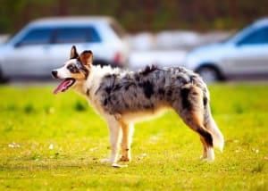 Billede af en Australian shepherd