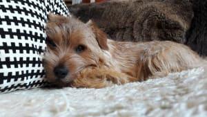 Billede af en Norfolk terrier