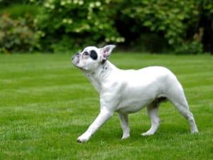 Billede af en Fransk bulldog