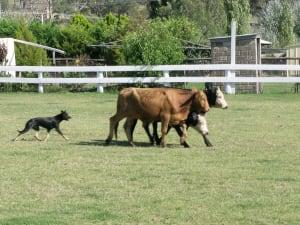 Billede af en Australian stock dog/working kelpie