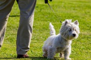 Billede af en West highland white terrier
