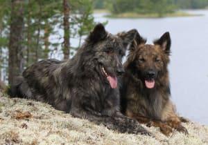 Billede af en Hollandsk hyrdehund, langhåret