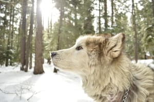 Billede af en Alaskan malamute