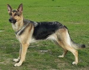 Billede af en Schæferhund, stockhåret