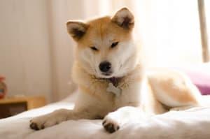 Billede af en Akita
