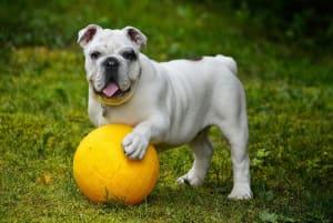 Billede af en Engelsk bulldog