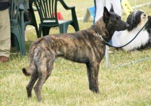 Billede af en Hollandsk hyrdehund, korthåret