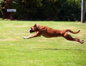 Billede af en Boxer
