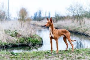 Billede af en Pharaoh hound