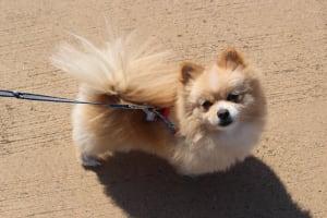 Billede af en Pomeranian