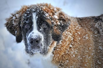 Hypotermi hos hunde: symptomer, årsager og behandlinger