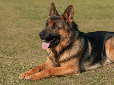 Schæferhund, stockhåret