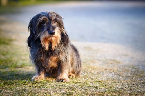 Billede af en Ruhåret gravhund