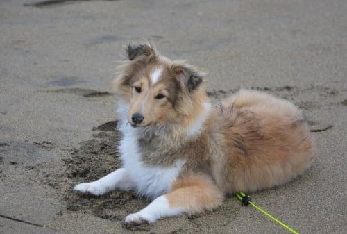 Billede af en Shetland sheepdog