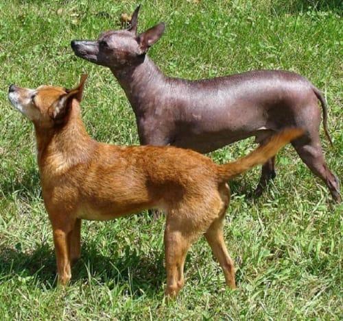 Billede af en Xoloitzcuintle con pelo, mellem