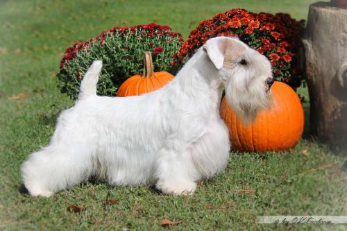 Billede af en Sealyham terrier