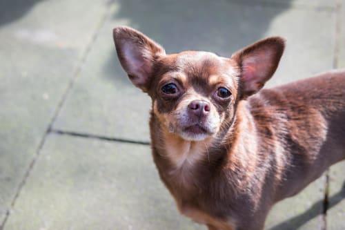 Billede af en Chihuahua, korthåret