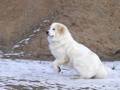 Billede af en Pyreneerhund