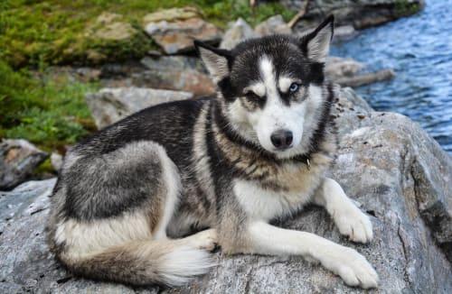 Billede af en Siberian husky