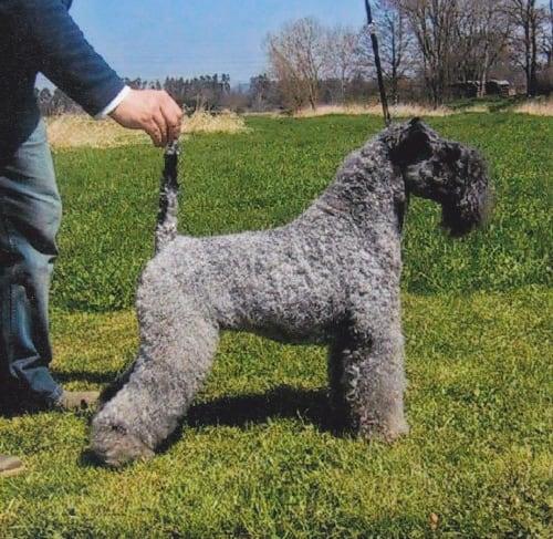 Billede af en Kerry blue terrier