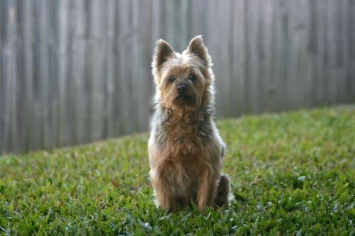 Billede af en Australian silky terrier