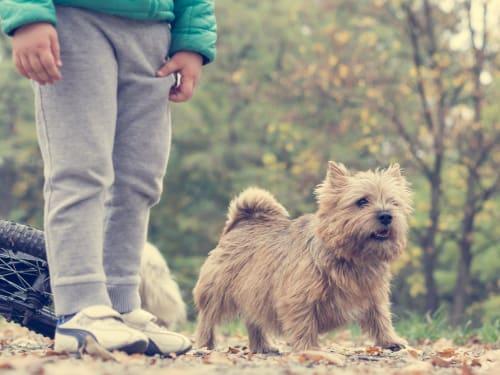 Billede af en Norwich terrier