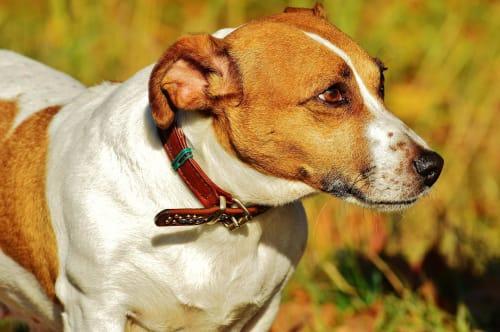 Billede af en Jack russell terrier