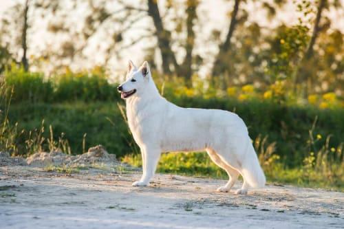 Billede af en Hvid schweizisk hyrdehund