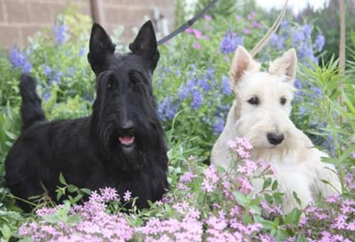 Billede af en Skotsk terrier