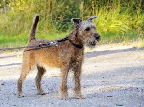 Billede af en Irsk terrier