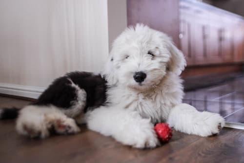 Billede af en Old english sheepdog