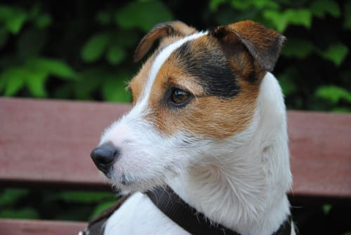 Billede af en Parson russell terrier