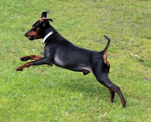 Billede af en Manchester terrier