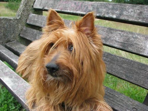 Billede af en Australsk terrier