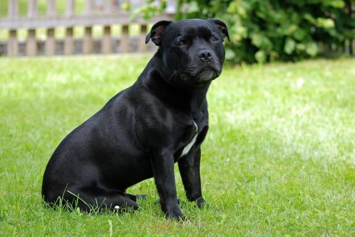 Billede af en Staffordshire bull terrier