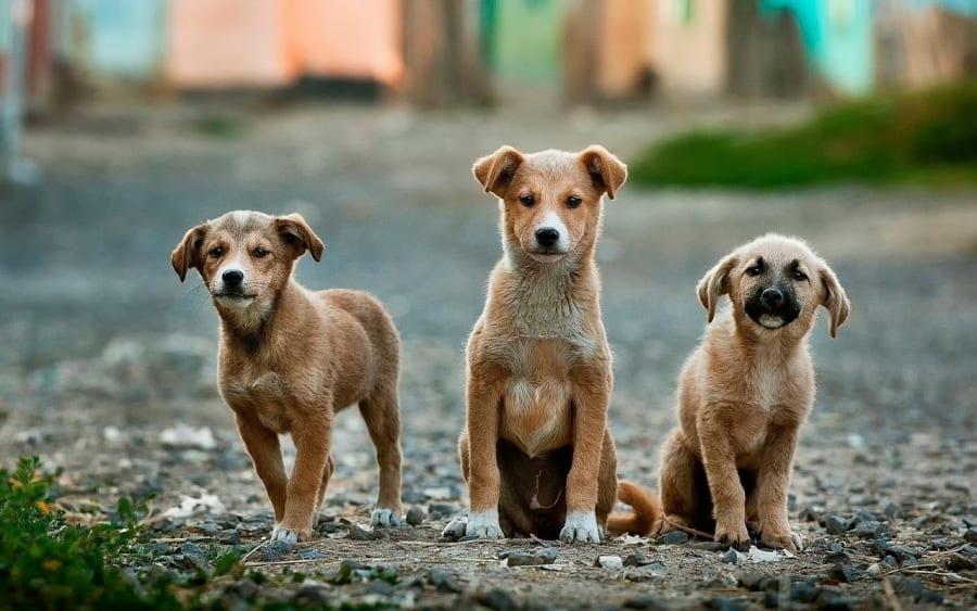 Skal jeg vælge en voksen hund eller en hvalp?