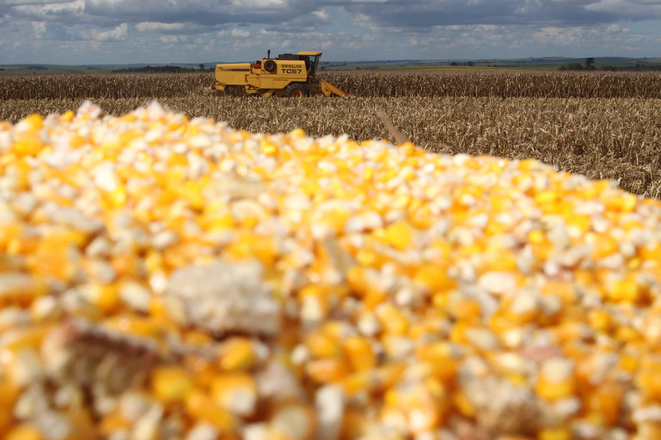 Boletim agropecuário ressalta bons preços do milho ao produtor