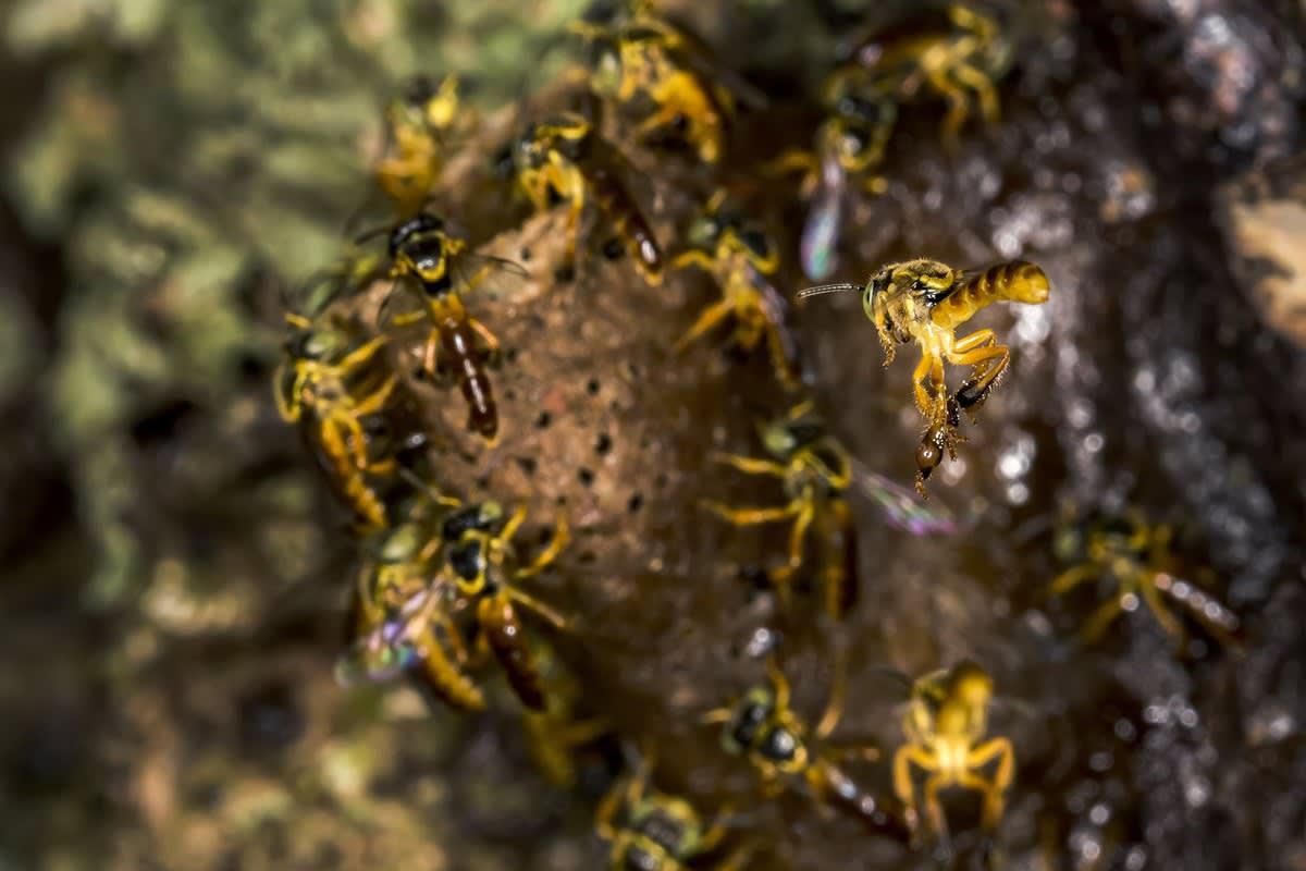 Evento sobre abelhas sem ferrão debate geração de renda pelo setor