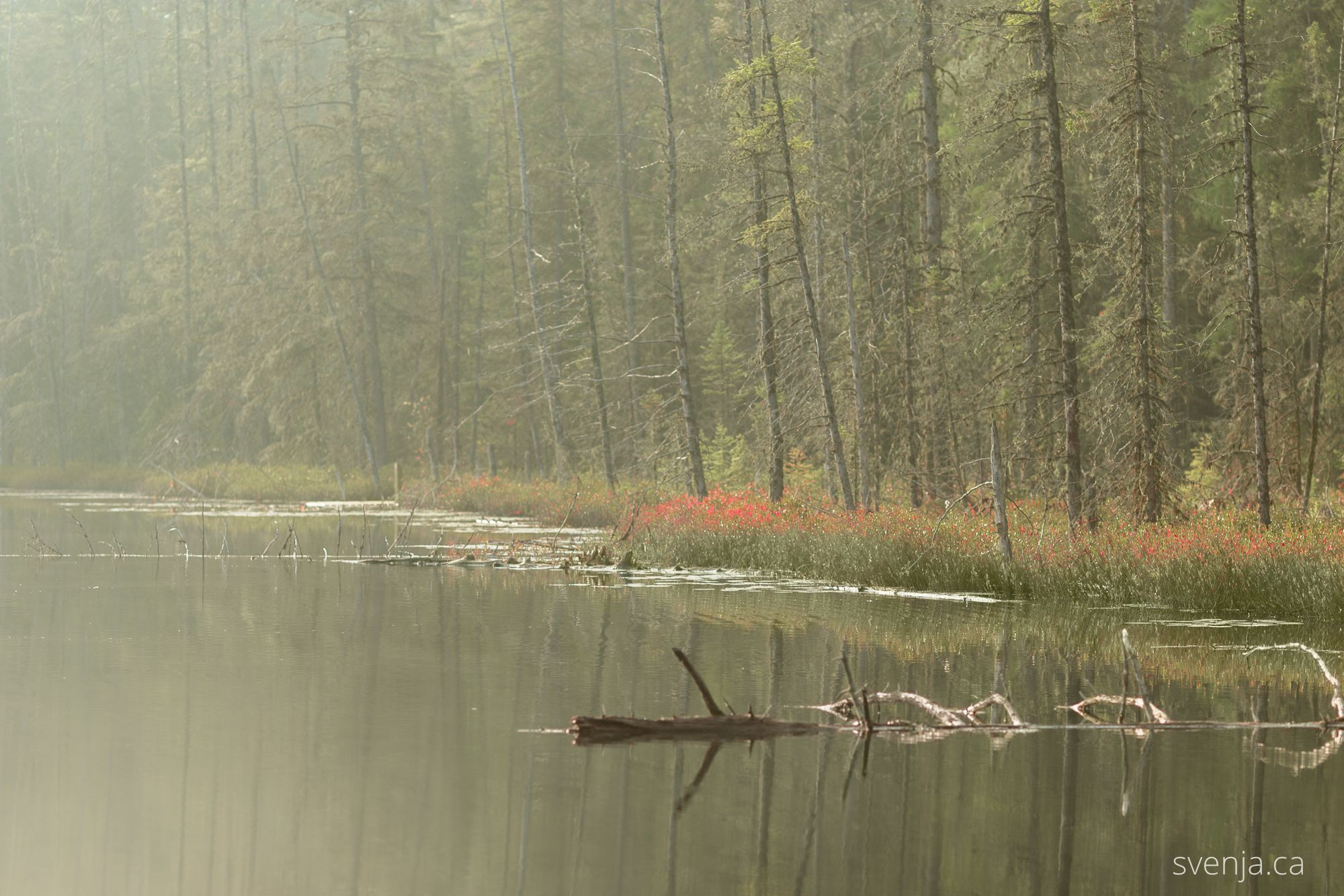Loon on a solitary morning swim