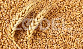 Livestock Feeding Wheat