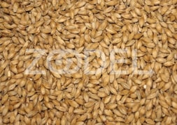 Barley For Livestock & Poultry Feed - Model 104 - Bulk - Taban Sepehr Alborz