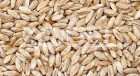 Durum Wheat - Model 106 - Taban Sepehr Alborz Company