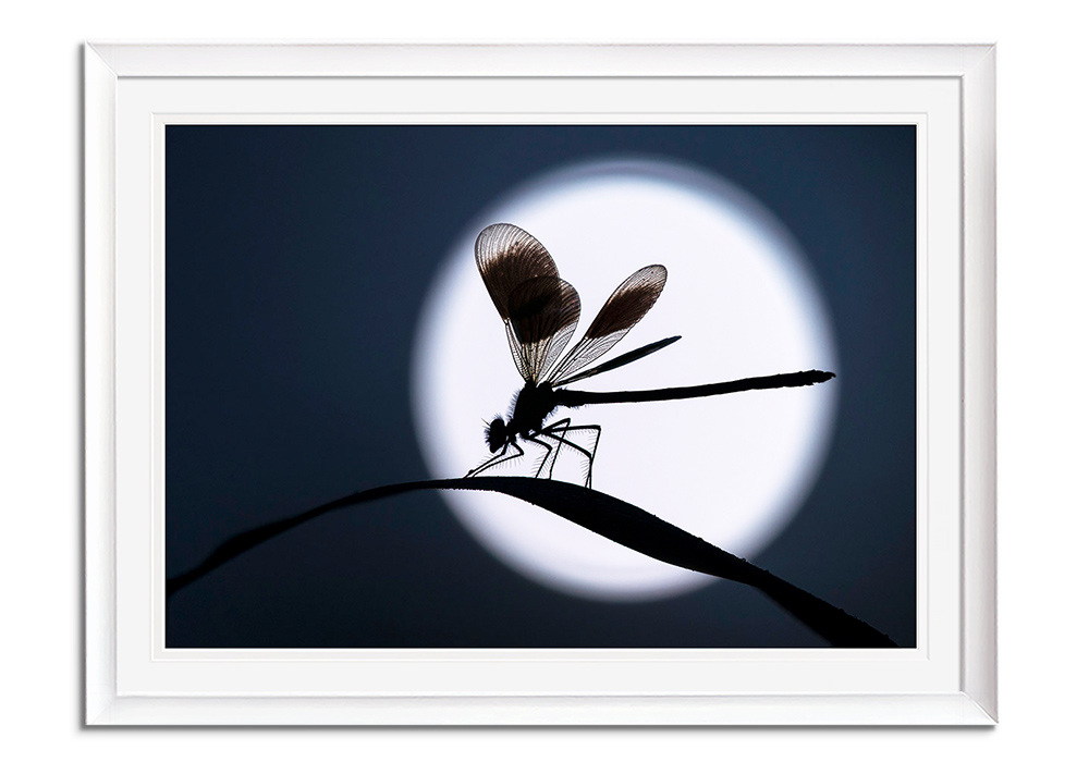 Moonlit Demoiselle by Ross Hoddinott