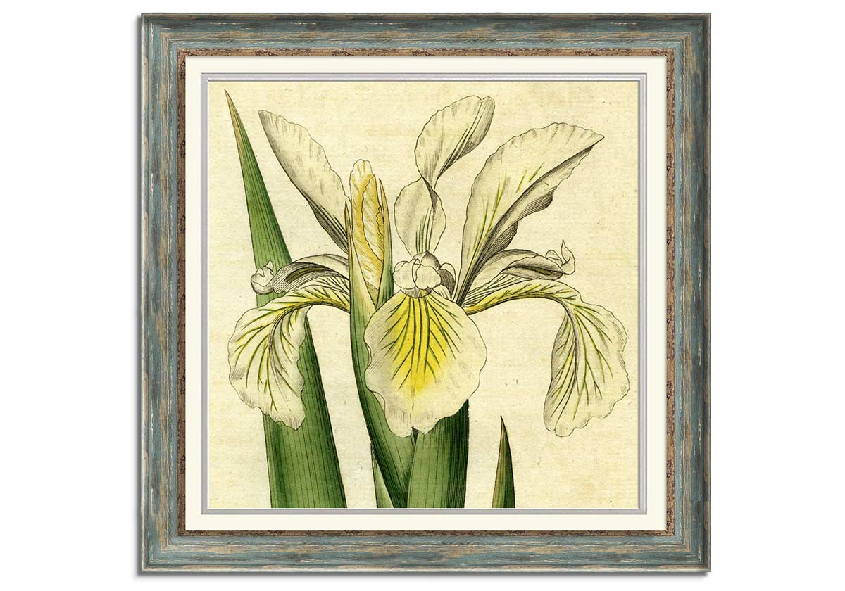 Botanical illustration of Tall Iris by Unknown