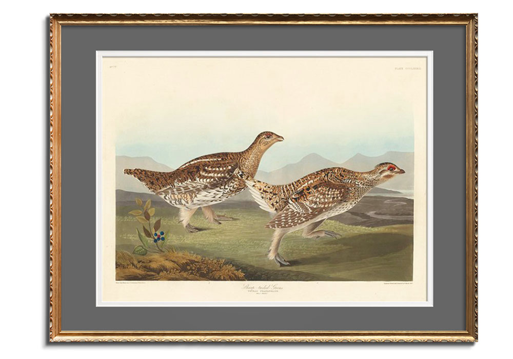 Sharp-tailed Grous by John James Audubon