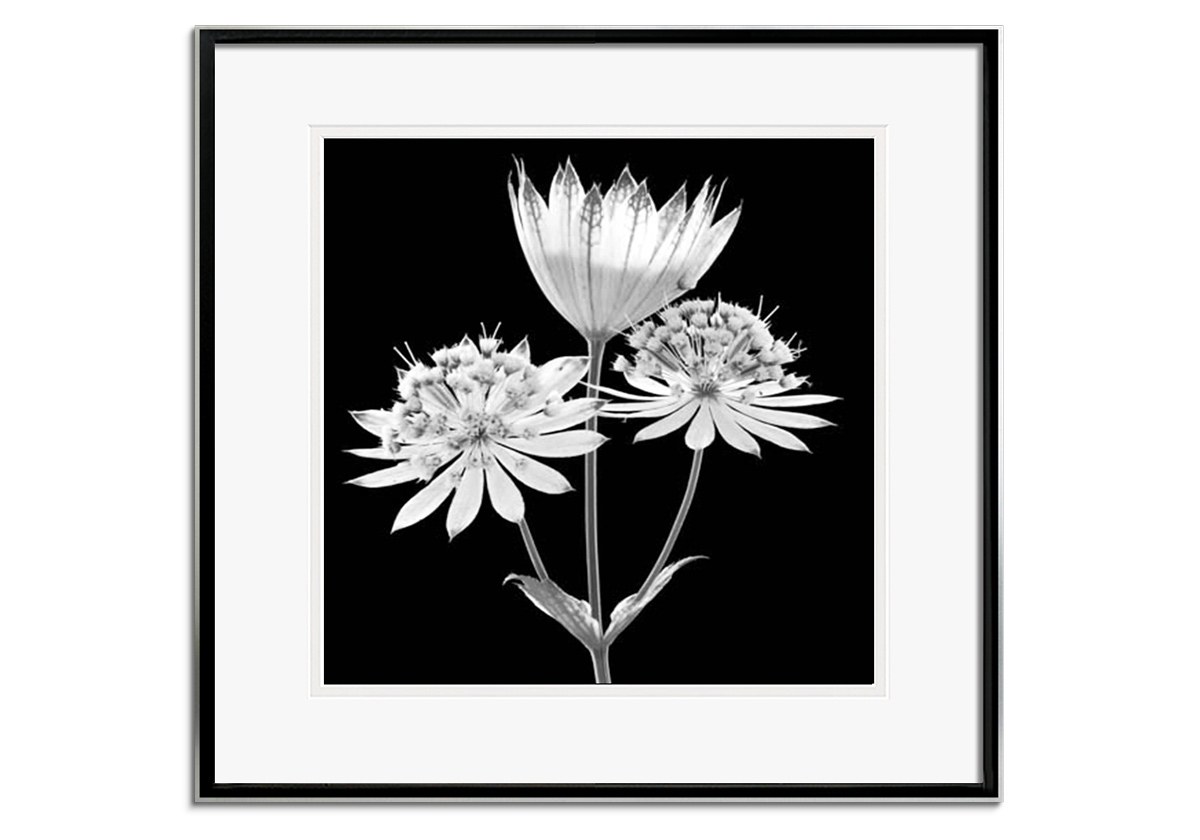 Astrantia by Andy Small
