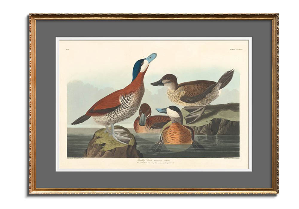 Ruddy Duck by John James Audubon