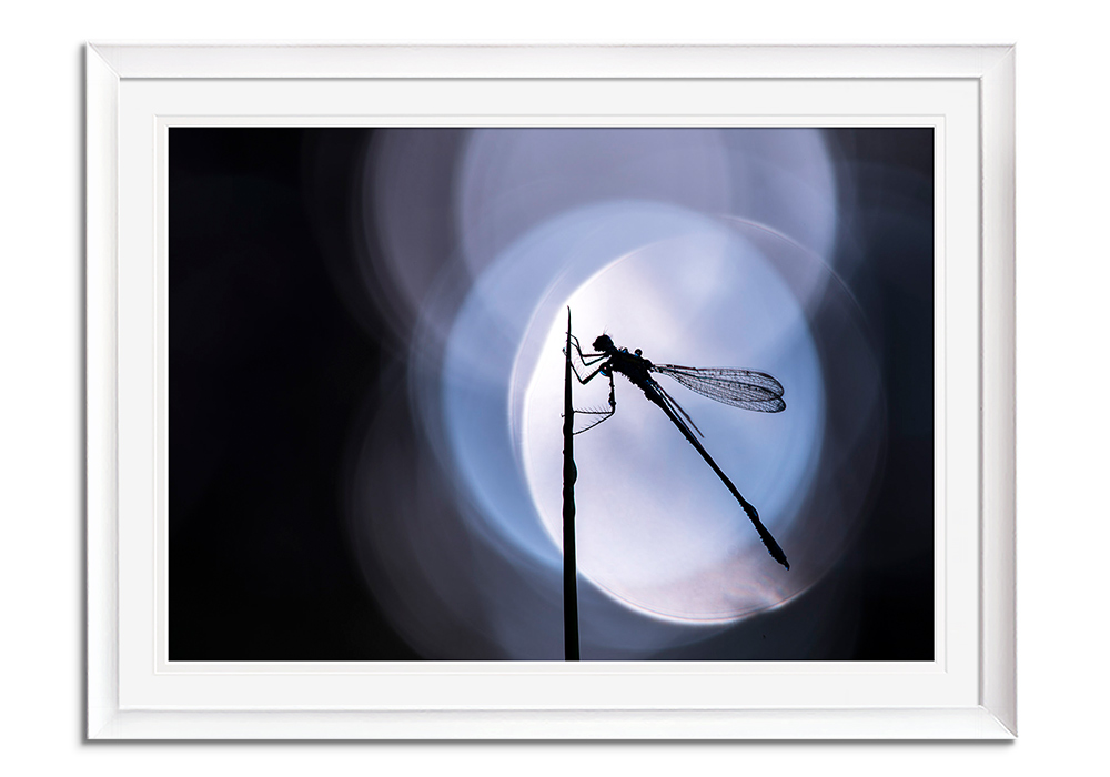 Damselfly Silhouette by Ross Hoddinott