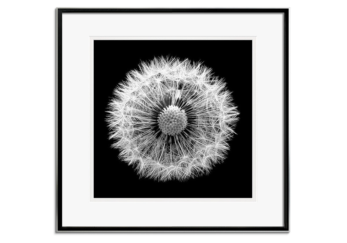 Dandelion by Andy Small