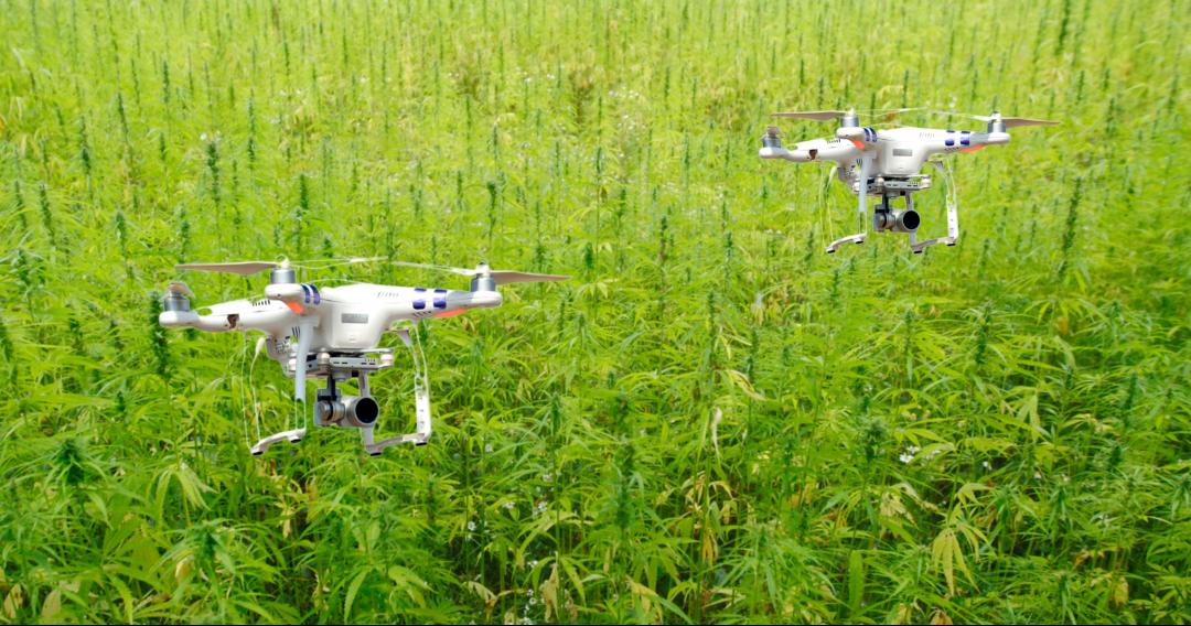 Czy drony pomogą w uprawie konopi?
